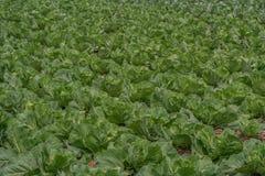 Campo del crecimiento de cabbage foto de archivo