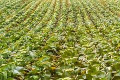 Campo del crecimiento de cabbage Imagen de archivo libre de regalías