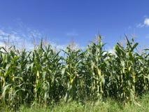 Campo del crecimiento de maíz Imagen de archivo libre de regalías