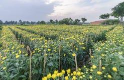 Campo del crisantemo nel raccolto Fotografie Stock Libere da Diritti
