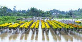 Campo del crisantemo nel raccolto Fotografie Stock