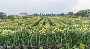 Campo del crisantemo nel raccolto Immagine Stock