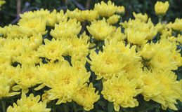 Campo del crisantemo nel raccolto Immagini Stock