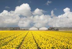 Campo del Daffodil fotografia stock libera da diritti