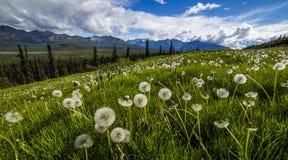 Campo del diente de león en Alaska fotografía de archivo libre de regalías