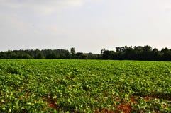Campo del fagiolo della soia Immagini Stock Libere da Diritti