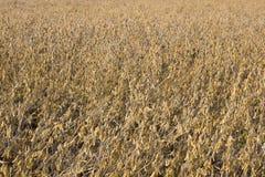 Campo del fagiolo della soia maturo per la raccolta Fotografia Stock Libera da Diritti