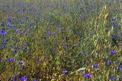 Campo del fiordaliso Fotografia Stock