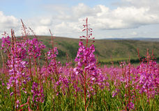 Campo del fireweed Immagine Stock
