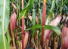 Campo del fondo con i toni gialli verdi rossi della pianta di cereale Fotografia Stock Libera da Diritti