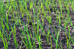 Campo del fondo floreale della cipolla delle piante di giardino della molla del germoglio Fotografie Stock Libere da Diritti