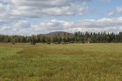 Campo del ganado fotografía de archivo libre de regalías