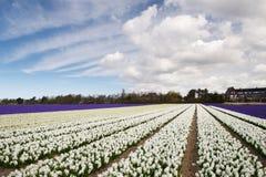 Campo del giacinto bianco, beige e viola nei Paesi Bassi Fotografia Stock