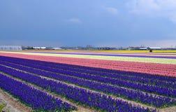 Campo del giacinto in Olanda Immagine Stock
