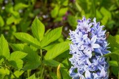 Campo del giacinto Primi giacinti del blu delle fioriture Il giacinto blu fiorisce la macrofotografia con il fondo della sfuocatu immagini stock