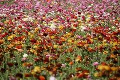 Campo del giardino floreale nel fondo o il modello di primavera Fotografia Stock Libera da Diritti