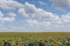 Campo del girasol Imagen de archivo libre de regalías