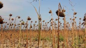 Campo del girasol afectado por sequía almacen de video