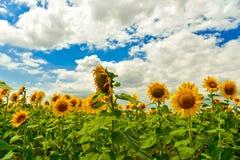 Campo del girasol, Bulgaria Imagen de archivo