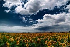 Campo del girasol, Burgas, Bulgaria Fotografía de archivo