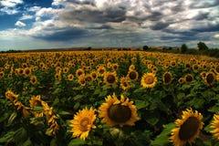 Campo del girasol, Burgas, Bulgaria Imagen de archivo