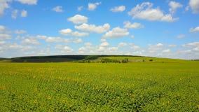 Campo del girasol con el cielo azul nublado metrajes