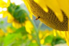 Campo del girasol con la abeja Imagenes de archivo