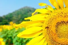 Campo del girasol con la abeja Fotos de archivo