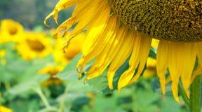 Campo del girasol con la abeja Fotos de archivo libres de regalías