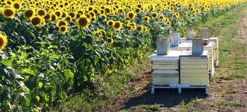 Campo del girasol con las colmenas de la abeja Fotografía de archivo