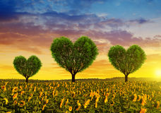 Campo del girasol con los árboles en la forma del corazón en la puesta del sol Imagen de archivo