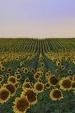 Campo del girasol en la puesta del sol Foto de archivo