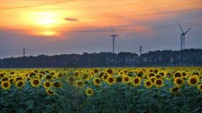 Campo del girasol en la puesta del sol Foto de archivo libre de regalías