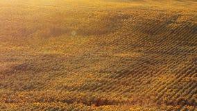 Campo del girasol en la puesta del sol almacen de video