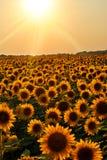 Campo del girasol en la puesta del sol Fotos de archivo libres de regalías