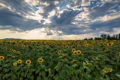 Campo del girasol en la puesta del sol Imagen de archivo libre de regalías