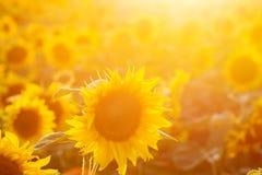 Campo del girasol en la puesta del sol efecto filtrado del instagram Fotos de archivo libres de regalías