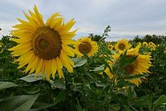 Campo del girasol en Provence Fotografía de archivo