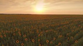 Campo del girasol en puesta del sol almacen de video