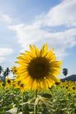 Campo del girasol hermoso foto de archivo