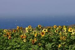 Campo del girasol por el mar Fotografía de archivo libre de regalías