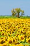Campo del girasol, Provence, Francia, foco bajo fotografía de archivo libre de regalías