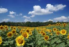 Campo del girasol y cielo azul nublado Imagenes de archivo