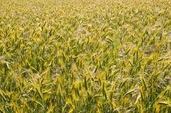 Campo del grano Foto de archivo libre de regalías