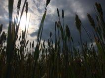Campo del grano foto de archivo