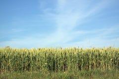 Campo del grano con el cielo azul Imagen de archivo libre de regalías