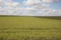 Campo del guisante con el cielo azul; Imagenes de archivo