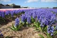 Campo del jacinto colorido de las flores que crece en la granja Foto de archivo libre de regalías