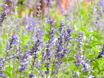 Campo del jardín de las flores de la lavanda imagen de archivo