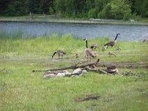 Campo del lago geese scenico immagini stock libere da diritti